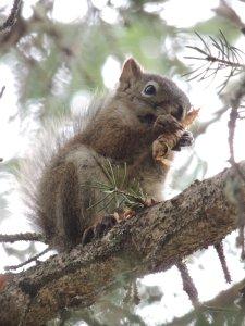 KananskisSquirrel2 smaller